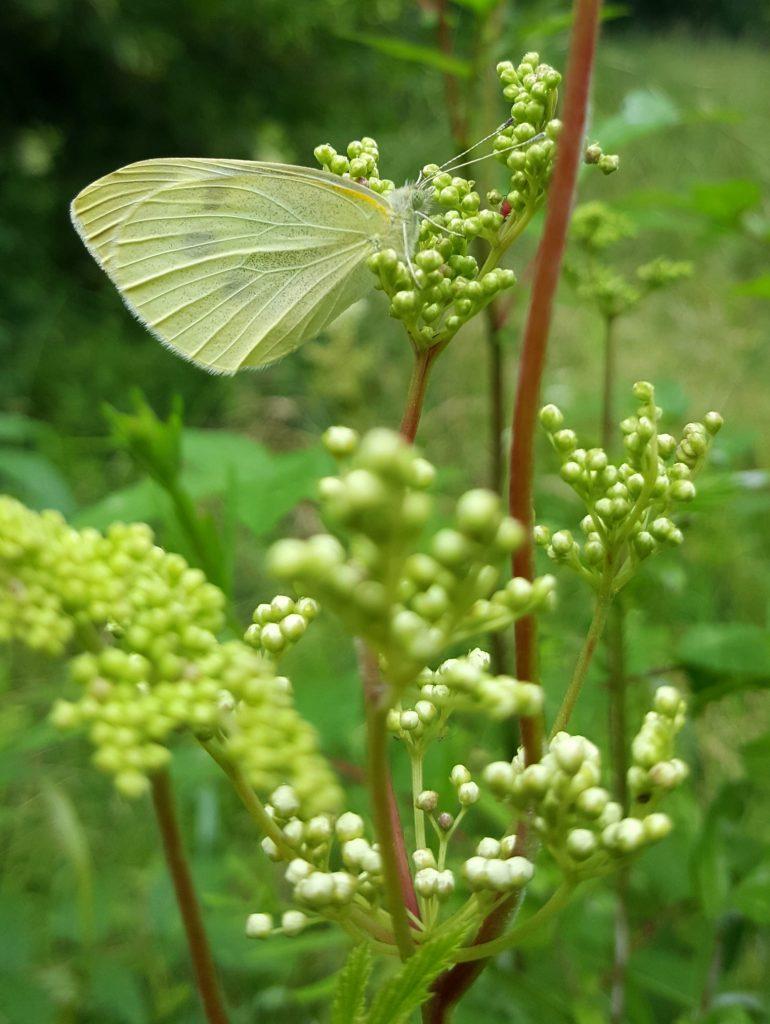 Schmetterling am Mädesüß